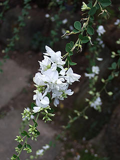 白い萩の花