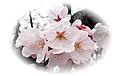 桜の挿絵・cherry blossoms