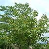 天然木の見分け方/画像:ケヤキ並木のカット
